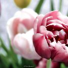 Purple Tulips in Bloom 2 by Tom Mostert