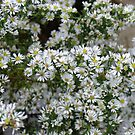 Calico Aster - Aster lateriflorus by Tracy Wazny