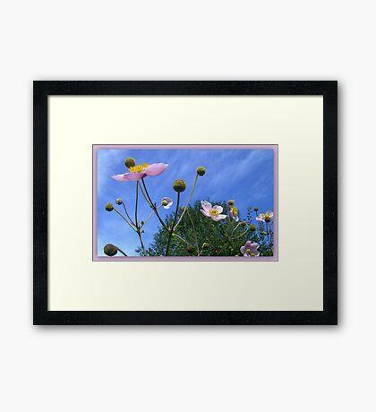 Anemone Japonica  Framed Print