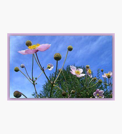 Anemone Japonica  Photographic Print