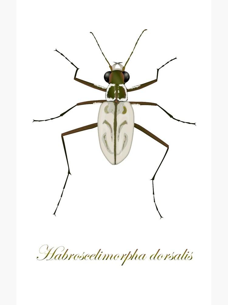 Northeastern Beach tiger beetle, Habroscelimorpha dorsalis by thevexedmuddler