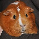Ginny the Guinea Pig by CSRoth