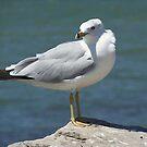 Culled Gull by Monnie Ryan