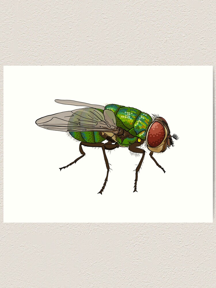 Alternate view of Chrysomya megacephala blowfly Art Print