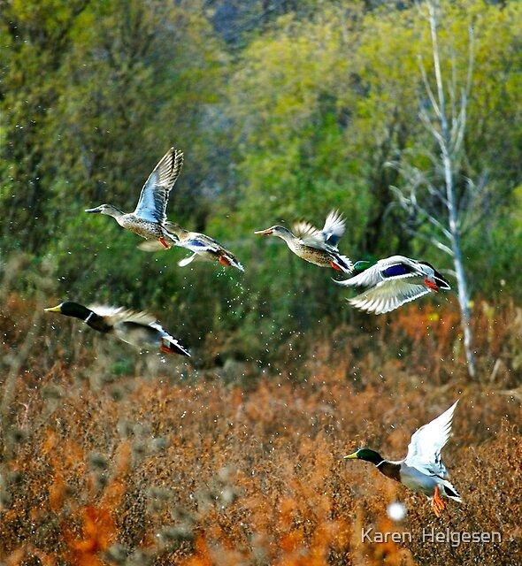 Fly Like a Mallard... by Karen  Helgesen