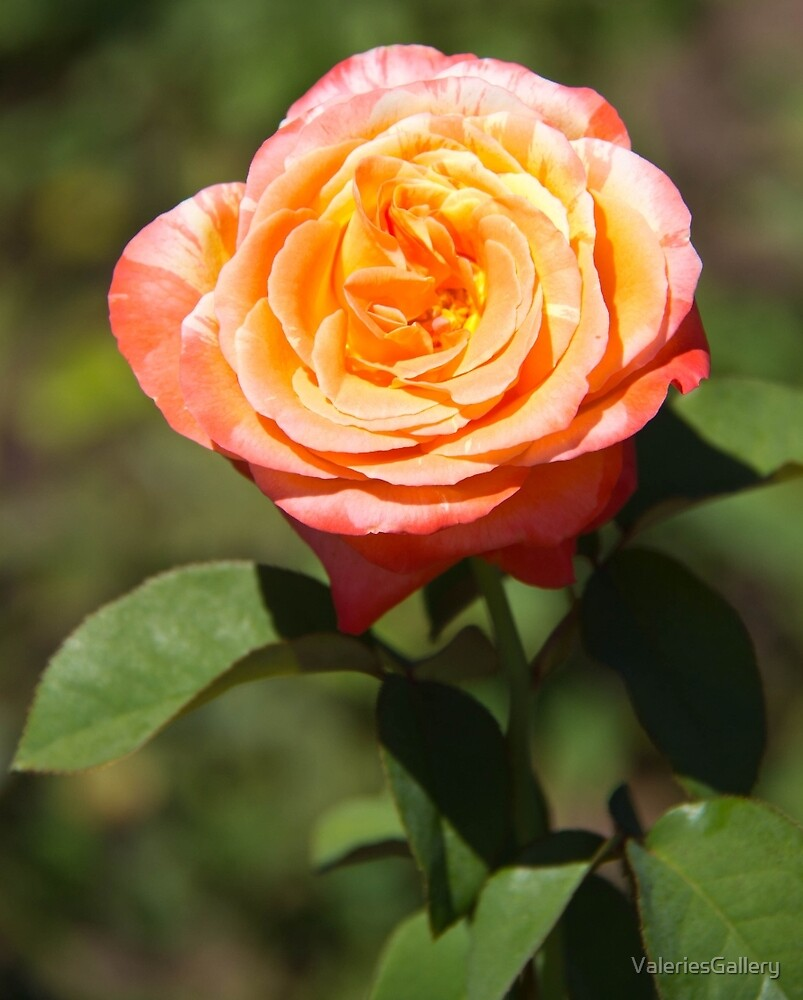Orange Rose with Pink Edges by ValeriesGallery