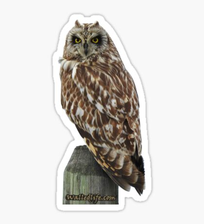 Short-Eared Owl Sticker