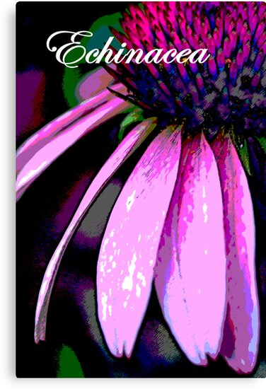 Echinacea Poster by AuntDot