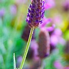 Lavender Portrait by Penny Smith