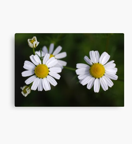 daisy days II Canvas Print