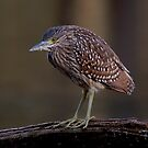 Female Nankeen Night Heron by aluzhun