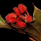 Grevillea pilosa  subsp. pilosa  by andrachne