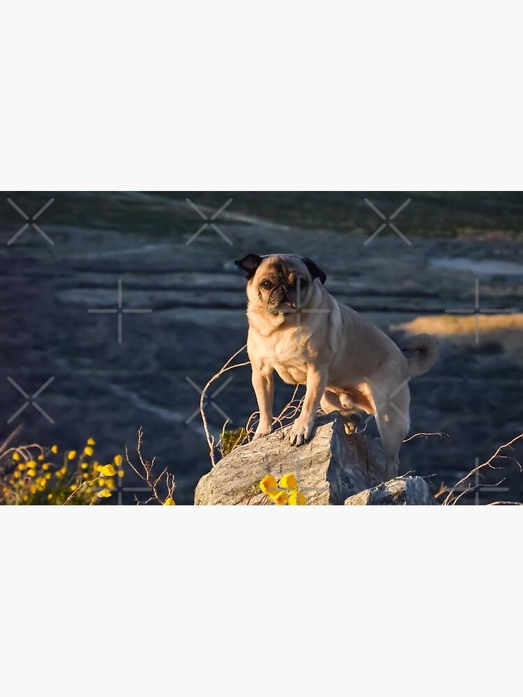The Majestic Adventure Pug escanea el horizonte en busca de golosinas de pugventurephoto