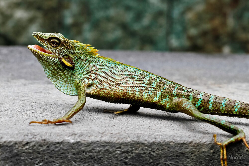Green Crested Lizard (Color change), Bronchocela cristatella by Normf