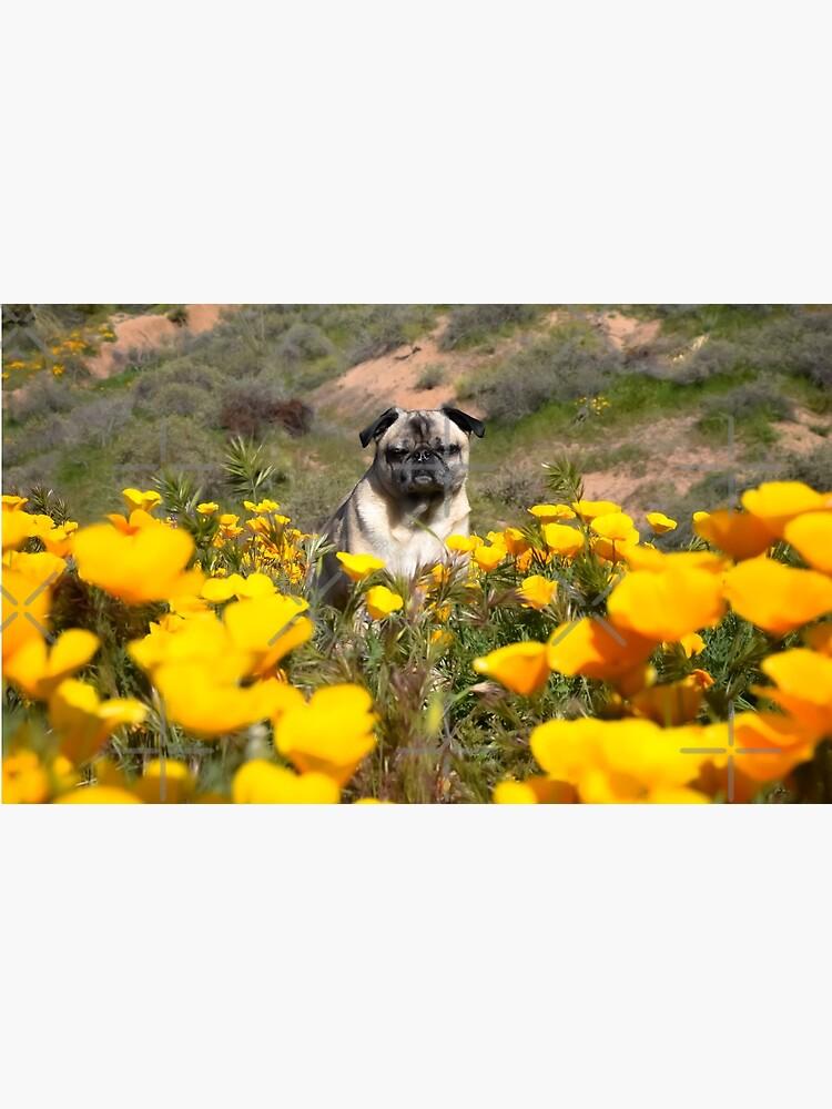 Amapola dorada desierto pug de pugventurephoto