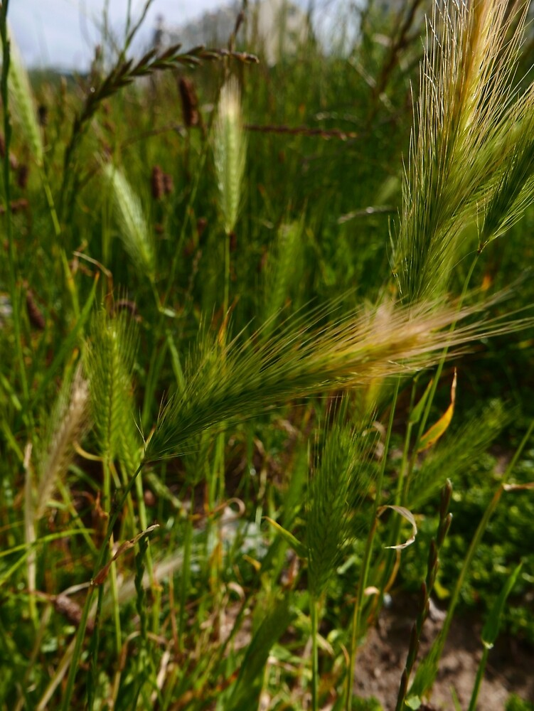 Wall Barley (Hordeum murinum) by IOMWildFlowers