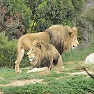 Handsome African Lions at Werribee Open Zoo. Victoria. by Rita Blom