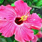 Very pink hibiscus by ♥⊱ B. Randi Bailey