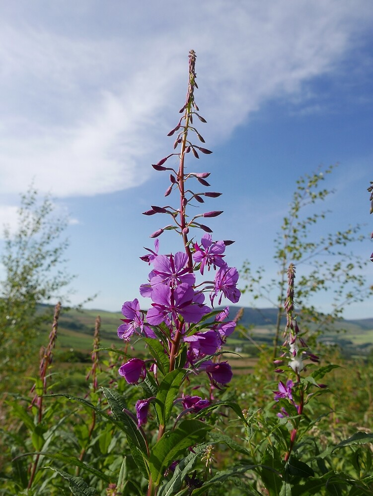 Rosebay Willowherb (Chamerion angustifolium) by IOMWildFlowers