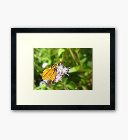 Butterfly ~ Orange Skipperling Framed Print