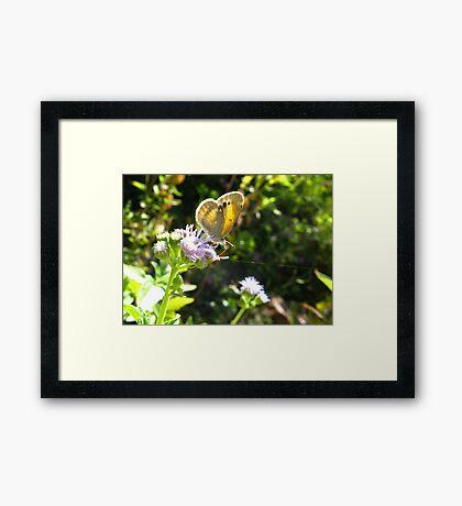 Butterfly ~ Dainty Sulfer Framed Print