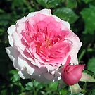 Two Tones of Pink - The Rose by teresa731