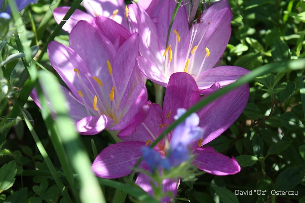 """So very purple by David """"Oz""""  Osterczy"""