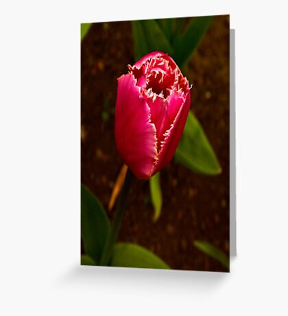 Varigated Tulip #2   (Spring - Early May) Greeting Card