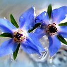 Borage Flowers in Water by ©The Creative  Minds