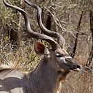 Impressive Kudu Male by Michael  Moss