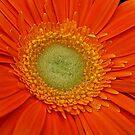Orange Gerbera. by Lee d'Entremont