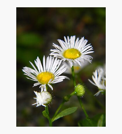 White aster after a rainstorm. Photographic Print