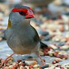 Red-browed Finch by Marlin1956