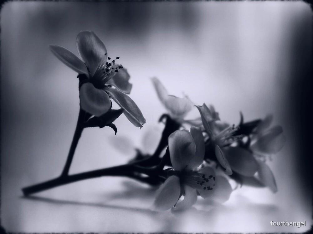 Blossom in b&w by fourthangel