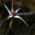 Exotic spider orchid, Caladenia novalis by JuliaKHarwood