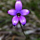 Purple enamel orchid, Elythanthera brunonis by JuliaKHarwood