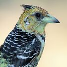 Crested barbet up close(Trachyphonus vaillantii) by Anthony Goldman