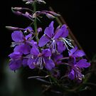 Forest flower (violet) by Antanas