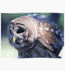 Wise Barred Owl Poster