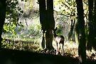 Roe Deer doe in woodland 001 by Andy Beattie
