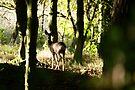 Roe Deer doe in woodland 002 by Andy Beattie