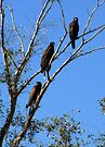 Harris's Hawks ~ Family meeting by Kimberly Chadwick