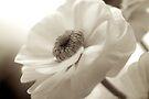Ranunculus by Extraordinary Light