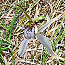 Lodges spider orchid, Caladenia lodgeana by JuliaKHarwood