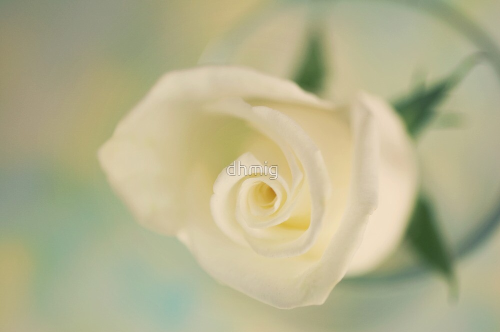 White rose  by dhmig