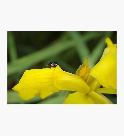 Yellow Iris and tiny cockroach Photographic Print