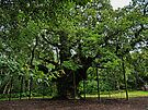 The Major Oak by Ryan Davison Crisp