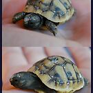 Little Joe the Tortoise by KarenM