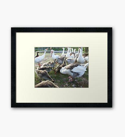 Pecking Order Framed Print