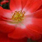 Strawberries and Cream Rose.  Close up by Karen  Betts
